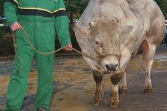 Koeien achterbl2
